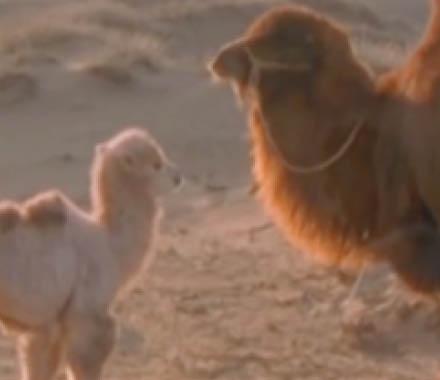 L'histoire du chameau qui pleure // Cinéma